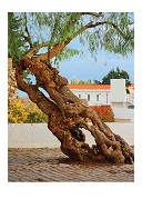 Leaning Tree, Sintra